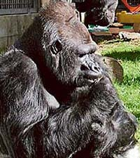 Koko in a pensive mood
