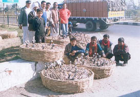 Baskets full of Chakors, which were seized at Karnal on Tuesday