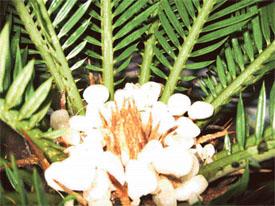 ornamental plants of punjab Department of botany, punjabi university, patiala-147002, punjab, india 1author  for correspondence:  and appressed amongst the ornamental plants of.