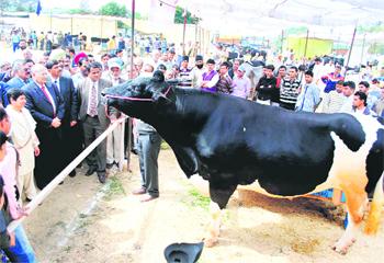 H F Cattle India The Tribune, Ch...