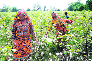 Women pick cotton at a field in Hisar.