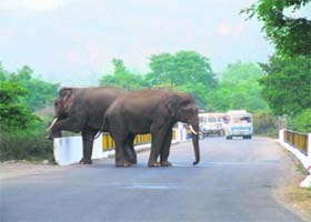 Elephants strolling on the highway on the Rishikesh-Haridwar highway