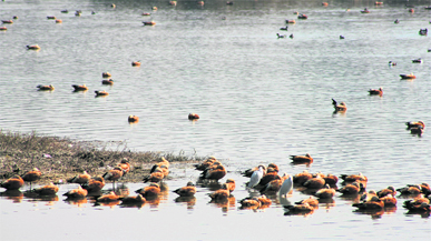 A flock of Brahminy ducks at Asan Barrage ; and (below) schoolchildren watch migratory birds at Asan Barrage during the World Wetlands Day celebrations on Thursday.