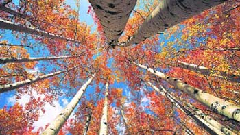 a view from below the Aspen grove
